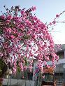 立川市解体経過報告と桜